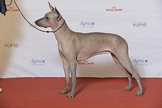 Xoloitzcuintle Dog breed