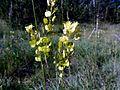 BISCUTELLA LAEVIGATA - MONTSEC - IB-960 (Herba de les llunetes).jpg