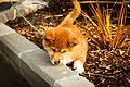 Baby Dingo out for a Walk.jpg
