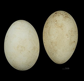 Grey crowned crane - Eggs of Balearica regulorum gibbericeps at the MHNT
