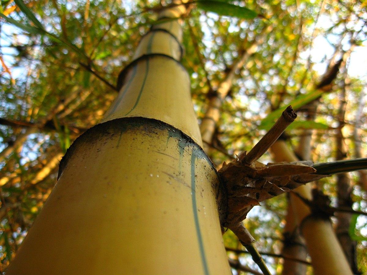Bambu-imperial-Detalhe.jpg