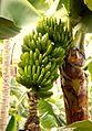 Banana 01.jpg