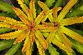 Banksia (14529904295).jpg