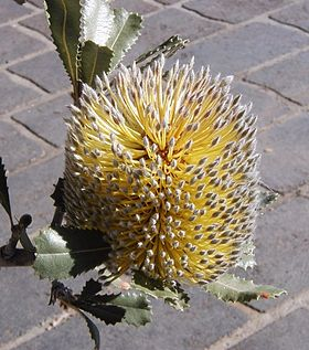 Banksia ornata3 Mt annan entrance apr 04 email.jpg
