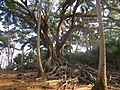Banyan tree so tall.jpg