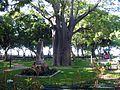 Baoba no Passeio Publico em Fortaleza.jpg