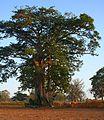 Baobab, Farafenni Gambia (4076150428).jpg