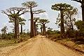 Baobab Avenue 1.JPG