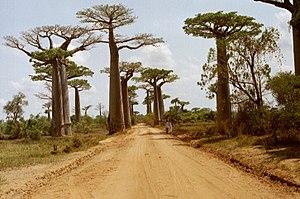 image of Baobab Avenue 1