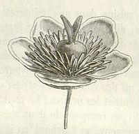 Barbeuia madagascariensis flower - Baillon.jpg