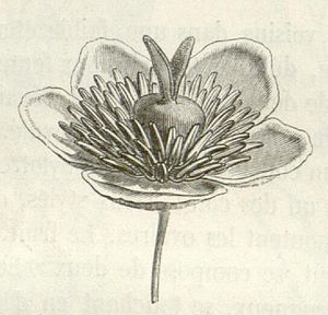 Barbeuia madagascariensis, Blüte (Illustration)