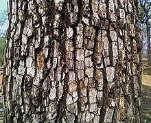 Bark of Diospyros melanoxylon.jpg