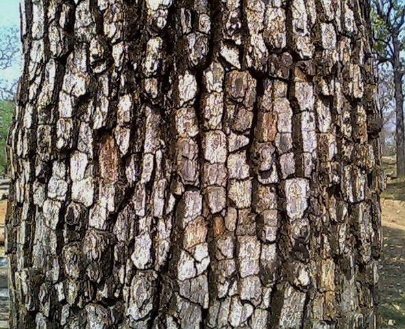 Bark of Diospyros melanoxylon