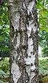 Bark of a birch (39179702445).jpg