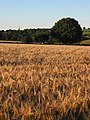 Barley crop, ready for harvesting - geograph.org.uk - 509684.jpg