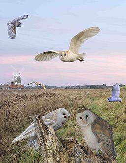Barn Owl from the Crossley ID Guide Britain and Ireland