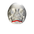 Base of mandible - skull - anterior view02.png