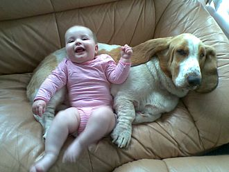 Basset Hound - Basset Hounds are renowned for their gentle, docile demeanor.