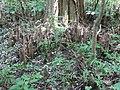 Battle Creek Cypress Swamp 16.jpg