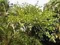 Bauhinia Picta - Feuilles.jpg
