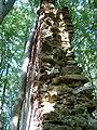 Baum lehnt sich an Mauer der Ruine Haimburg - panoramio.jpg