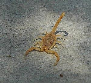 Arizona bark scorpion - Frontal view of a bark scorpion in a defensive posture