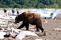 Bear on the Beach, Katmai NP.jpg