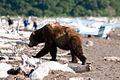 Bear on the Beach, Katmai NP.jpg