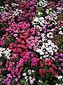 Beautiful Carnations.jpg