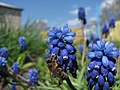Bee Apis mellifica on Muscari comosum (Sakhalin).JPG