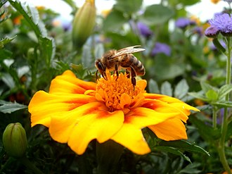Bee learning and communication - Figure 2. Honey bee collecting pollen