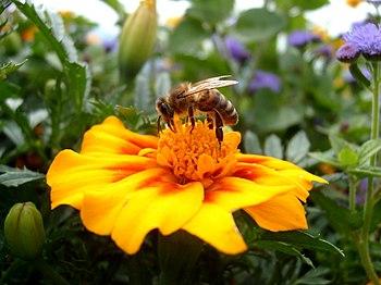 Figure 2. Honey bee collecting pollen