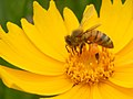 Bee on Coreopsis lanceolata — Stilgherrian 002.jpg