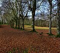 Beech Trees In The Grounds Of Kenmure Castle - geograph.org.uk - 1206050.jpg