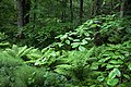 Beech and ferns in Gullmarsskogen.jpg