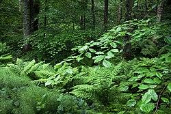 Beech and ferns in Gullmarsskogen.jpg