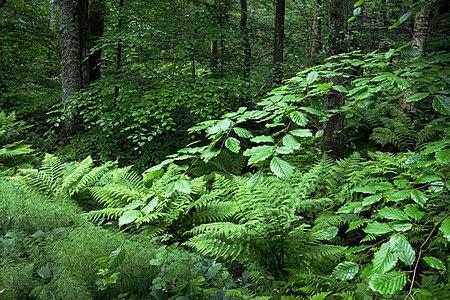 Beech and ferns in Gullmarsskogen