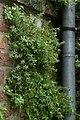Begroeiing op de Sint-Walburgakerk te Veurne - 369041 - onroerenderfgoed.jpg