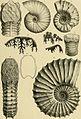 Beiträge zur Paläontologie und Geologie Österreich-Ungarns und des Orients - Mitteilungen des Geologischen und Paläontologischen Institutes der Universität Wien (1894) (20369685531).jpg