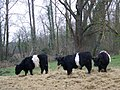 Belted Galloway cattle, Bishopstone - geograph.org.uk - 1104540.jpg