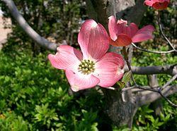 Benthamidia florida7.jpg