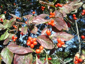 Cornus florida - Flowering dogwood in fall with fruit