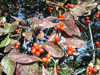 <i>Cornus florida</i> Species of flowering plant in the dogwood family Cornaceae