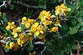 Berberis montana of the Berberidaceae (8406231869).jpg