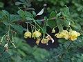 Berberis stenophyla a3.jpg