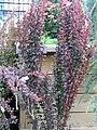 Berberis thunbergii Helmond Pillar 0zz.jpg