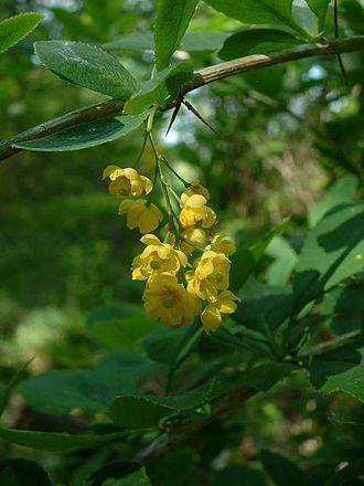 Berberis vulgaris - Image: Berberis vulgaris 3