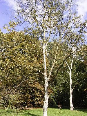 Betula platyphylla - Image: Betula platyphylla 01 10 2005 14.55.52