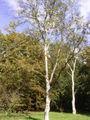 Betula platyphylla 01-10-2005 14.55.52.JPG