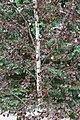 Betula pubescens f rubra 3.jpg